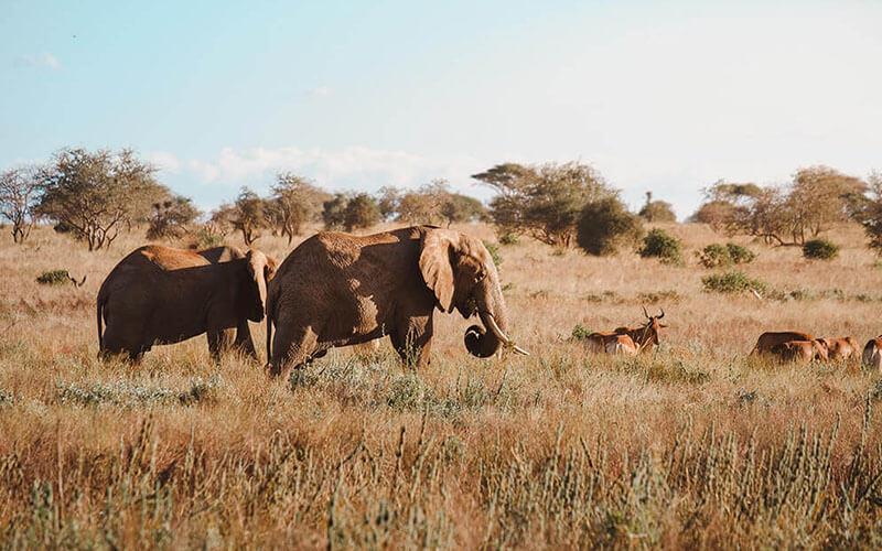 Wilflife olifanten