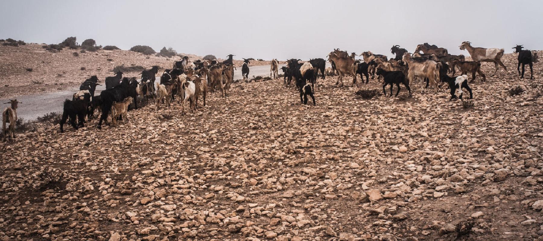 geiten Marokko