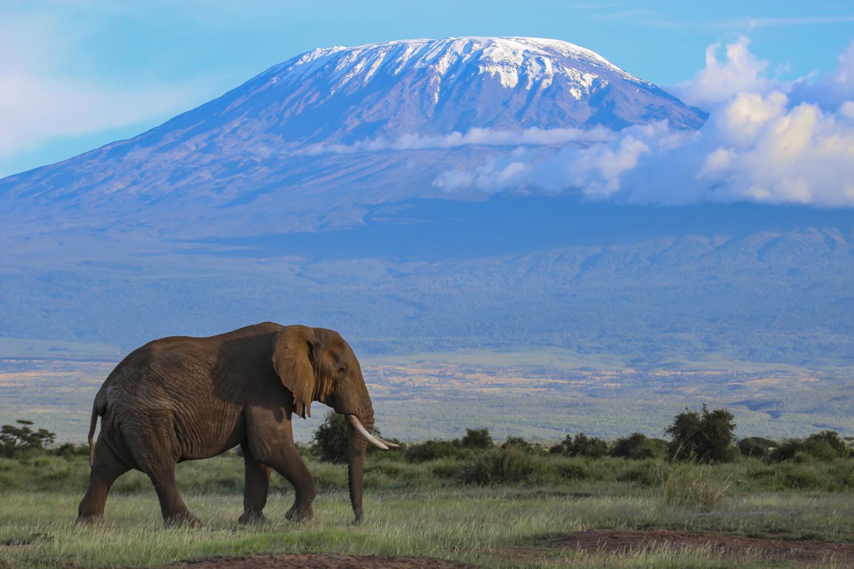Olifant in Amboseli met de Kilimanjaro op de achtergrond