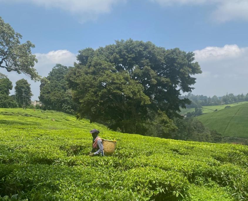 Werknemer van teafarm in thee veld met mand op zijn rug