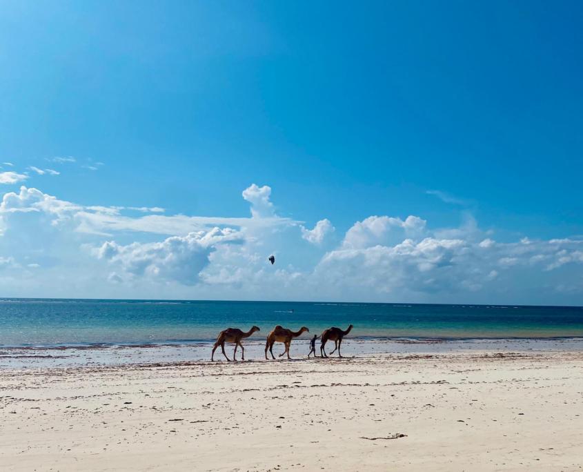 3 kamelen lopend over strand