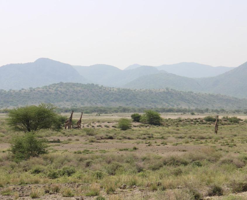 Groep giraffen in Magadi